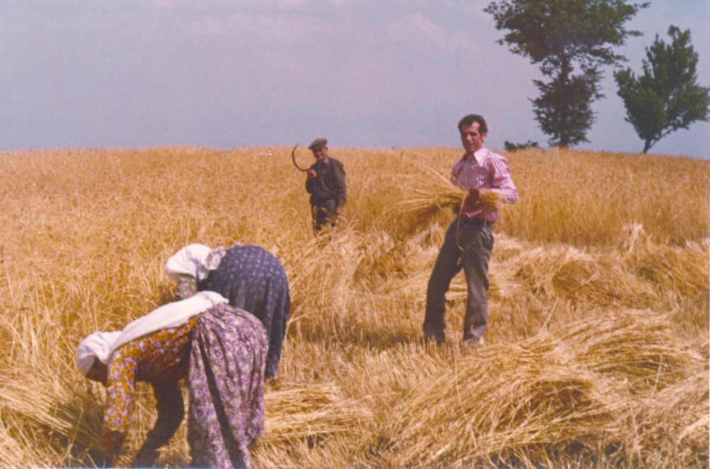 Eskiden buğdaylar orak ile biçilirdi.Mustafa Oluç